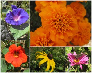 blue flower, marigold, pink flower with butterfly, black-eyed Susan, nasturtium.