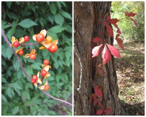 red berries, red vine climbing tree.